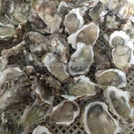 凯祥海蛎子分选机,生蚝分级机,牡蛎分选机