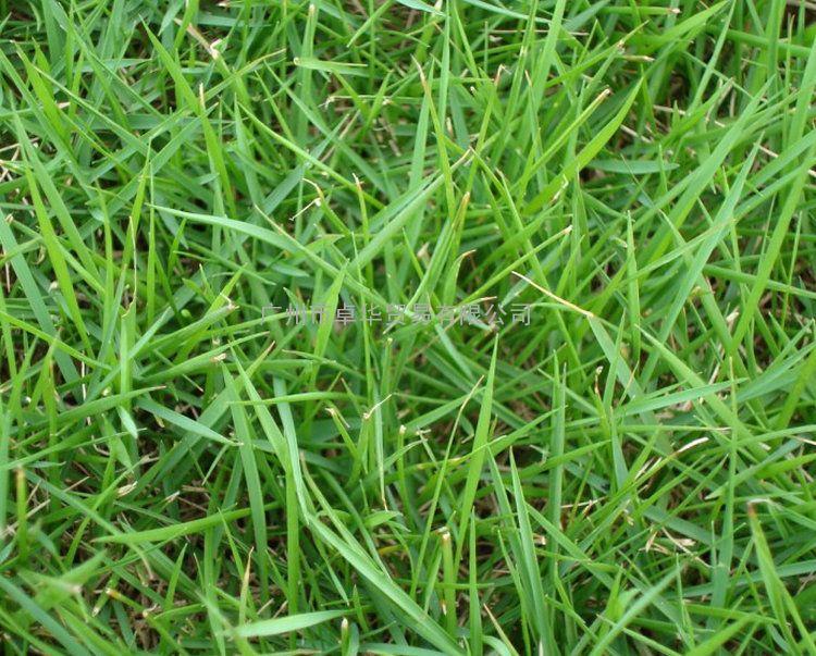 狗牙根草种 百慕大种子 边坡草籽 带壳包衣狗牙根