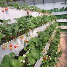 优质大号草莓种植槽厂家销售 发货快 质保十年