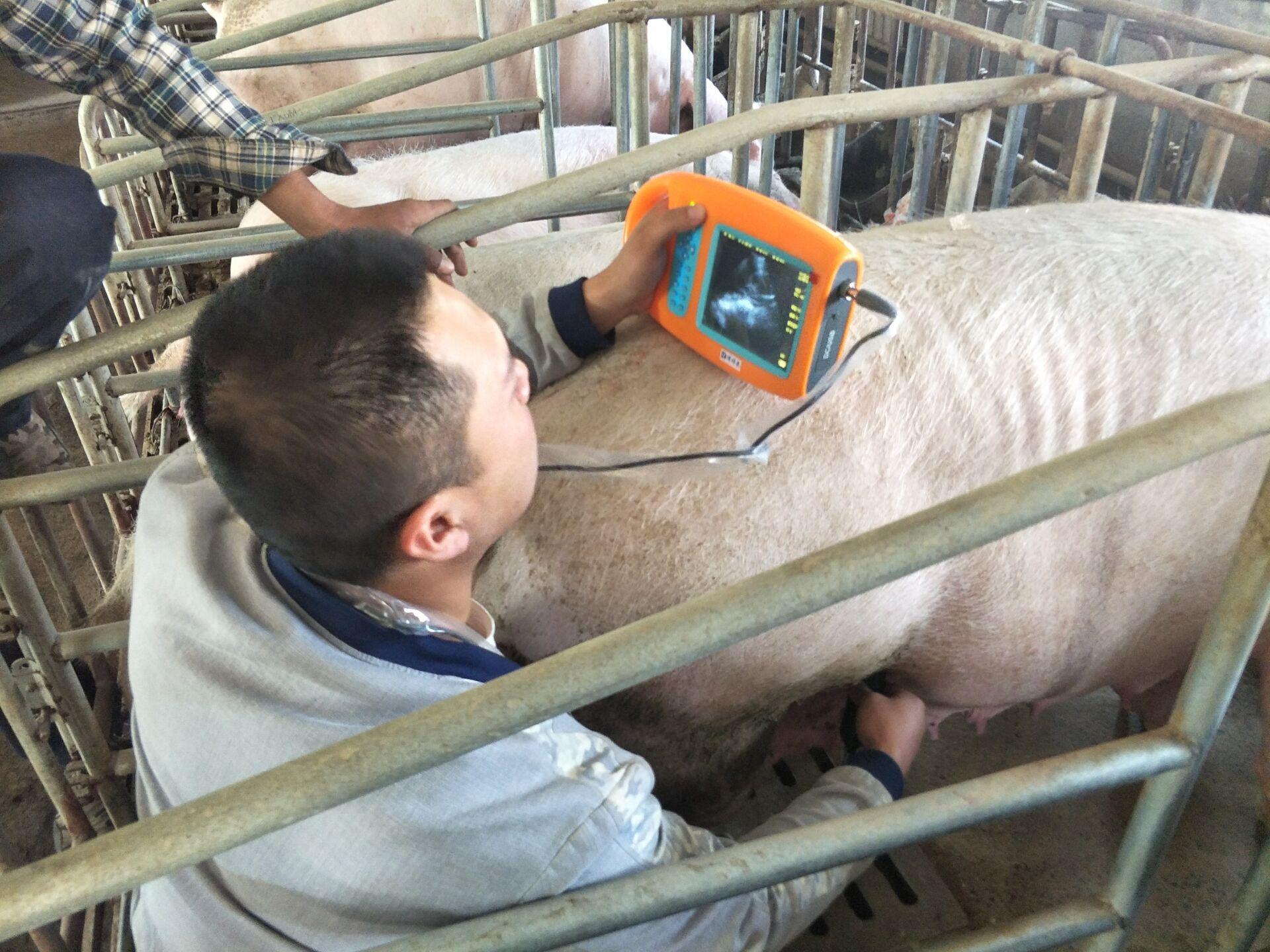 猪用B超如何观察图像