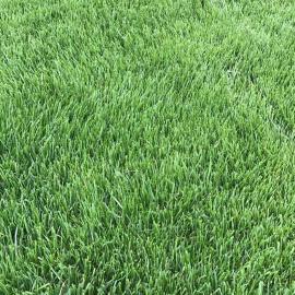 高羊茅草种草坪种子高羊茅护坡种子边坡绿化草种