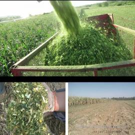 供应养殖场专用全株收割机厂家 圣泰大型玉米带棒收割机型号