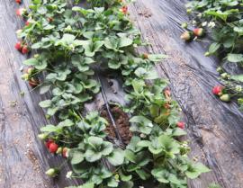 膜下滴灌在农业应用方面的好处