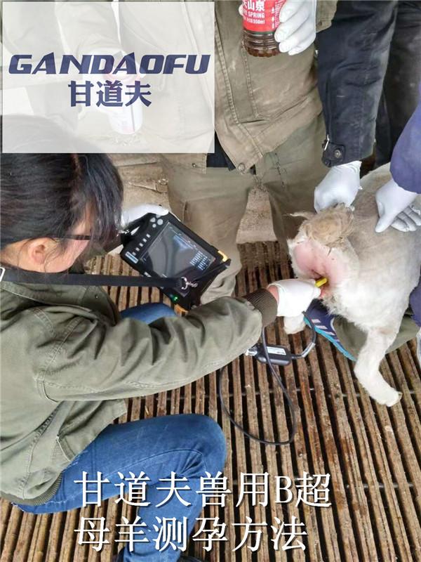 羊用B超使用方法检测羊空怀怀孕多胎图像
