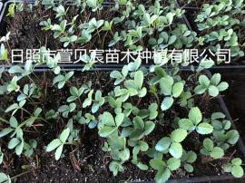 草莓苗基地,脱毒艳丽草莓苗,抗病强,成活率高