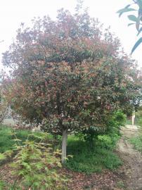 永辉园林绿化苗木白皮松茶条槭樱花在线报价