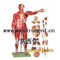 #人体全身肌肉附内脏模型*