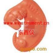 #胚胎放大模型*