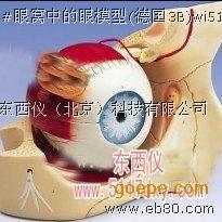 #眼窝中的眼模型(德国3B)*